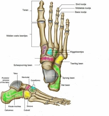 voet-anatomie